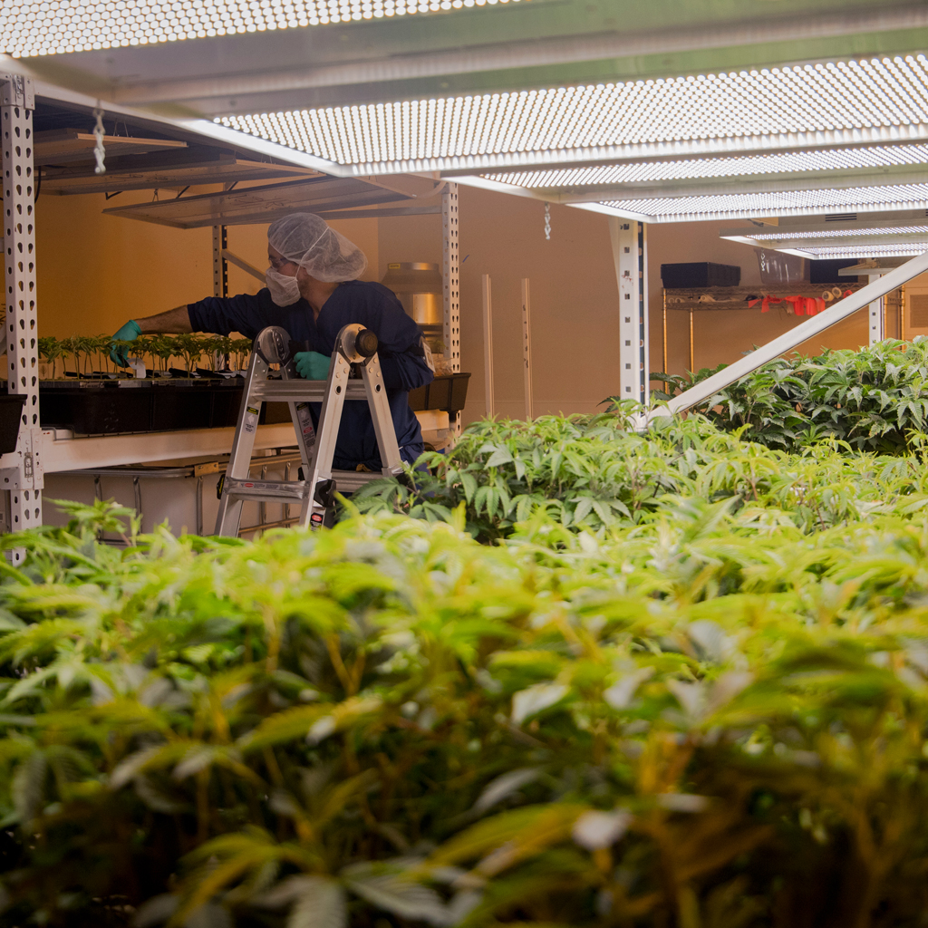 Worker in an Indoor Cultivation Facility