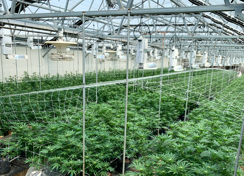 Greenhouse Cannabis Cultivation in Boulder Colorado