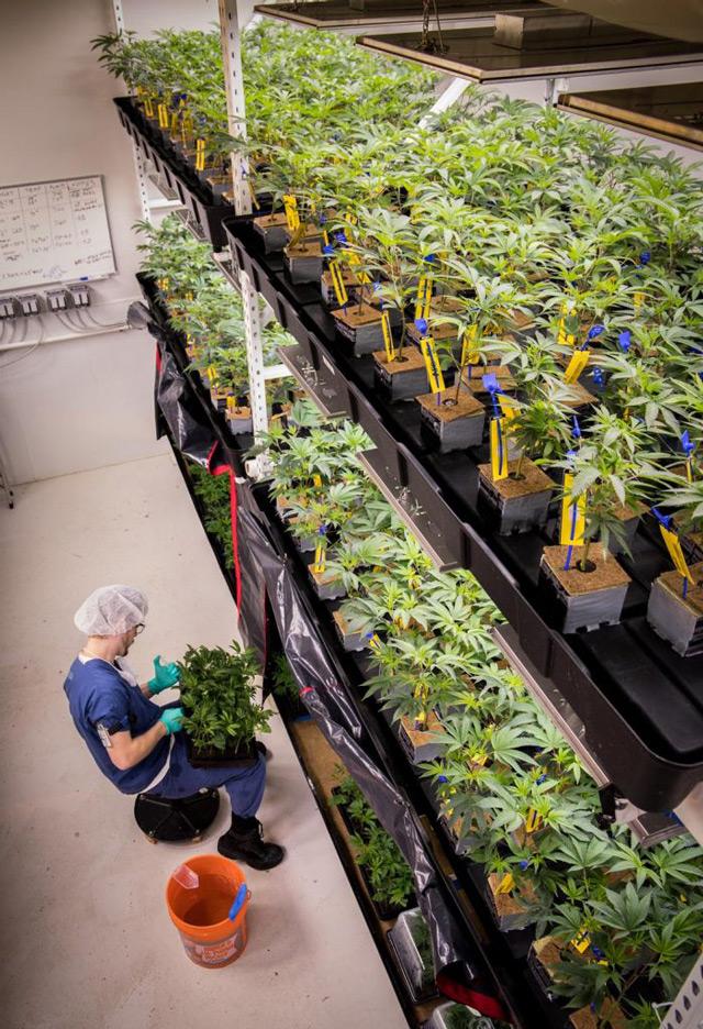 Master Grower feeding Cannabis plants in Tiered Veg Room