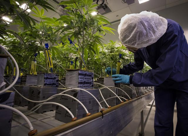 Worker checking cannabis plants with Automated Irrigation System